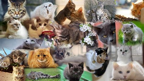 cat wallpaper collage cats collage wallpaper cute pinterest cat