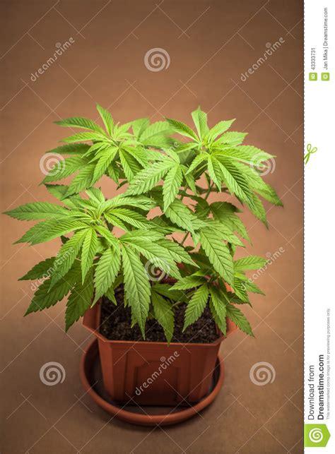 marijuana in vaso le cannabis piantano in vaso da fiori immagine stock