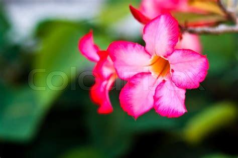 branch  tropical pink flowers frangipani plumeria