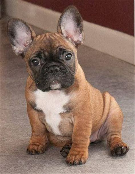 frenchie puppies for sale u talkin to me bulldogs coloring i will and pets