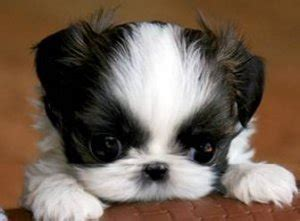 how to raise shih tzu puppies tiny teacup shih tzu puppies breeds picture