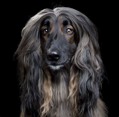 dogs with hair photogenic dogs with lovely hair pose for professional portraits by robert bahou