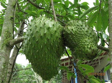 g fruit guanabana vallarta tribune guanabana cancer curing food