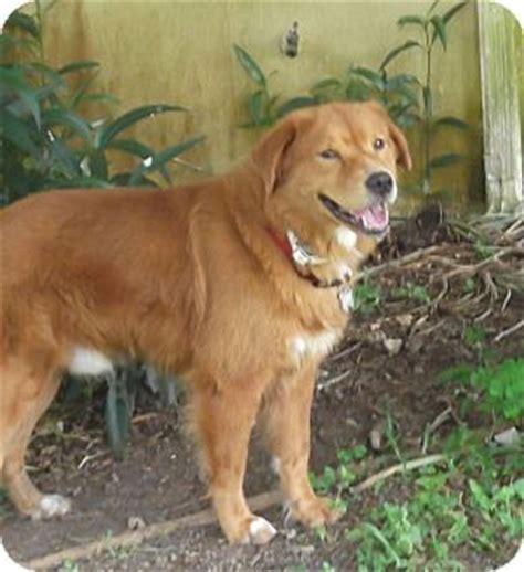 golden retriever chow mix temperament pet not found