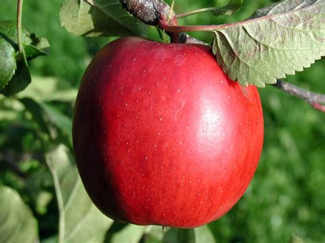 Apple Stoking Apel 120d file apple with leaf jpg wikimedia commons