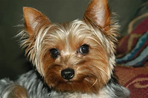 best yorkie names 10 best terrier names