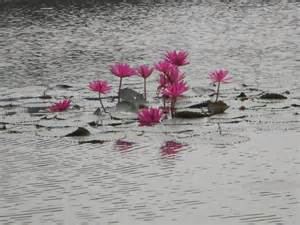 No Mud No Lotus Meaning No Mud No Lotus Tellingheavysecrets