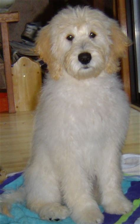goldendoodle puppy ranch big oak ranch home page