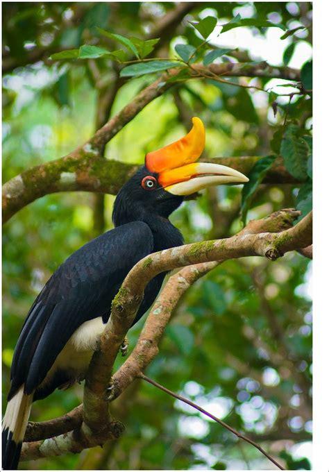 gambar burung enggang dunia binatang