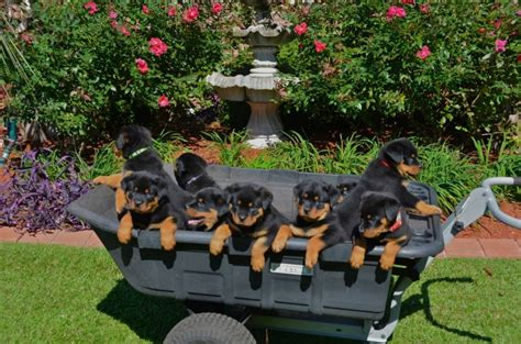 rottweiler breeders east coast davinci rottweilers breeder of chion rottweilers locations in illinois and