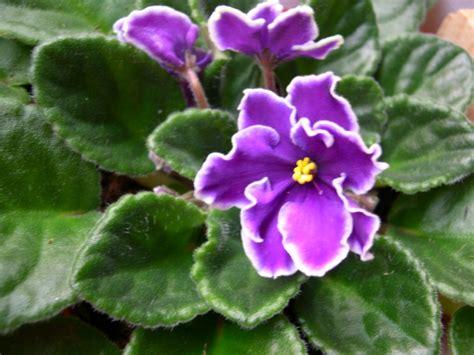 imagenes de flores llamadas violetas lo dice diana aller color violeta