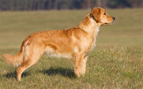 golden retriever health issues golden retriever breed profile australian lover