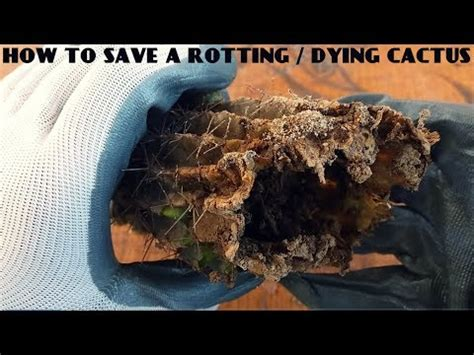 how to save a dying plant how to save a rotting dying cactus 100 sure result youtube