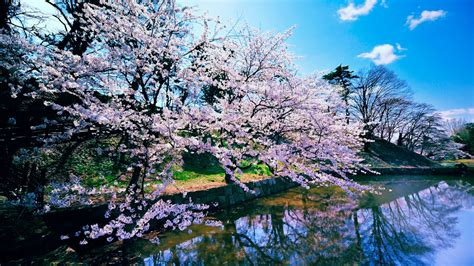 cherry blossom trees wallpapers hd wallpapers id