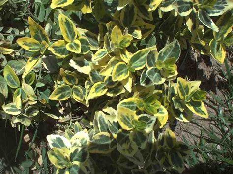 dietrich idaho variegated garden bush