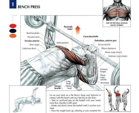 muscles used in a bench press gym equipment guide for beginners names and pictures