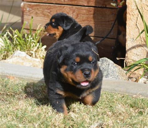 german rottweiler puppies for sale in best 25 german rottweiler puppies ideas on german rottweiler rottweiler