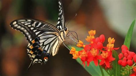 imagenes con mariposas bonitas 15 hermosas fotos en hd de mariposas y camellos y mas