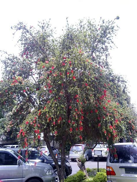 Minyak Kayu Putih Hijau Biru foto spesies pohon minyak kayu putih bunga merah