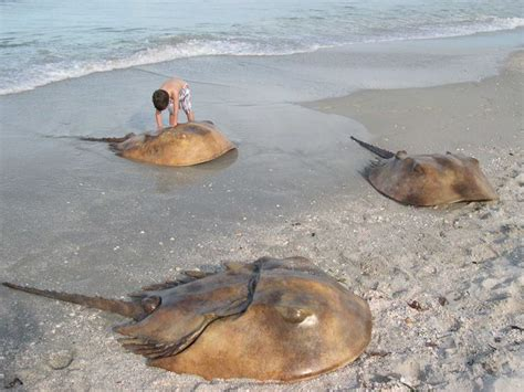 house shoe crab horseshoe crabs المرسال