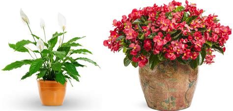indoor flowering plants no sunlight plants that need no sunlight