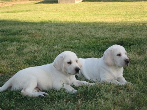 white lab puppies for sale near augusta ga animals 2