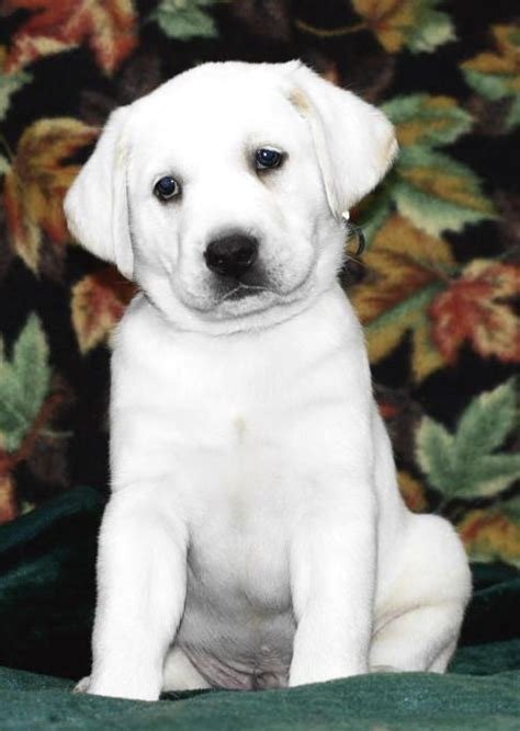 white lab puppies colorado the 25 best white lab puppies ideas on yellow lab puppies lab puppies