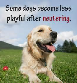after neutering behavior the unbelievably real reasons why dogs