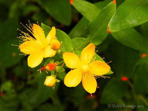 st flowers st johns wort flowers by vickiedesigns on deviantart