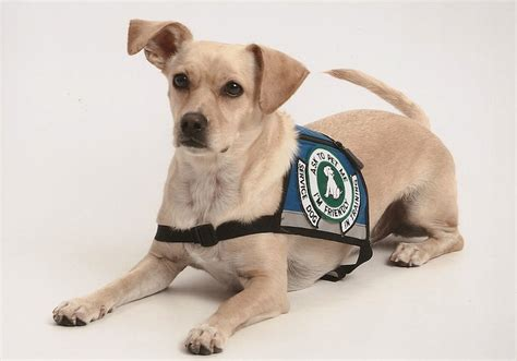 how to a puppy to be a service history of service dogs service