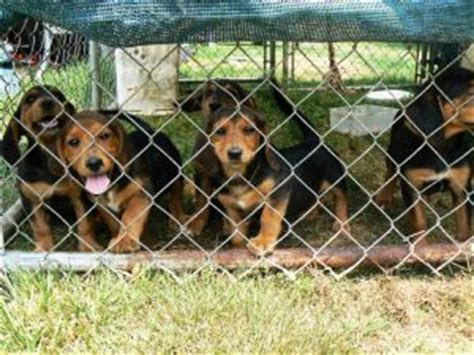 rottweiler jacksonville nc rottweiler mix puppies nc photo