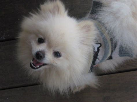 pomeranian puppies for sale nc pomeranian puppies ckc for sale adoption from morganton carolina adpost