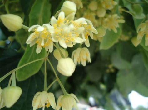 fiori di tiglio fiori di tiglio fiori di piante caratteristiche dei