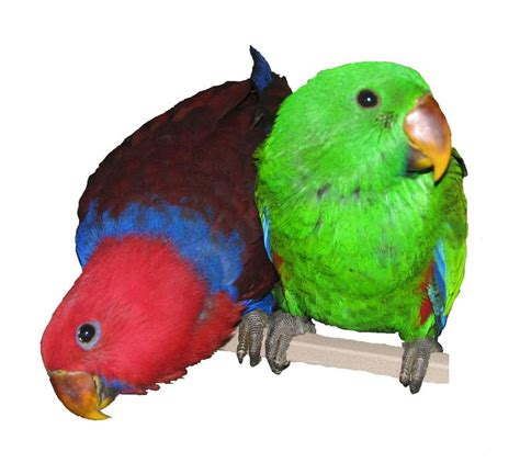best 25 parrotlets for sale ideas on pinterest