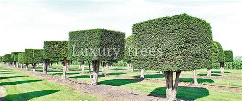 Nat Rlicher Sichtschutz F R Den Garten 9 by Sichtschutz 187 Luxurytrees 174 214 Sterreich