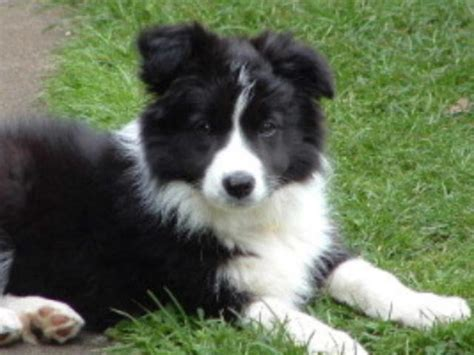 border collie puppies beautiful border collie border collie photo 16402151 fanpop