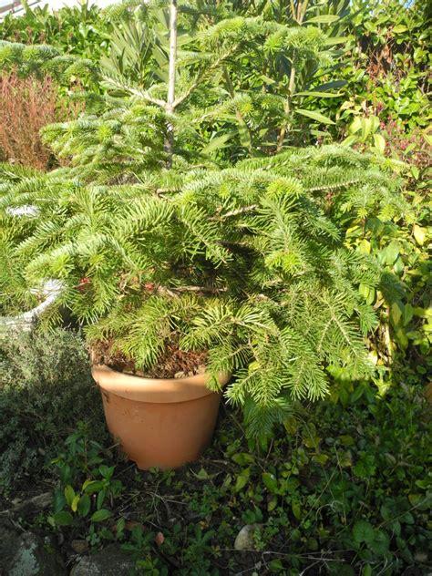 Sapin En Pot Terrasse votre sapin de no 235 l jardiner avec jean paul