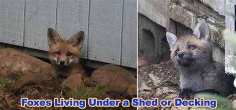 how to get rid of foxes in backyard how to get rid of foxes in backyard 28 images how to