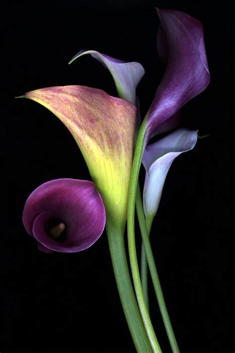 purple calla lilies flores pinterest