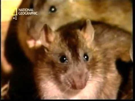 come eliminare i ratti dal giardino come costruire trappole per topi in 4 minuti doovi