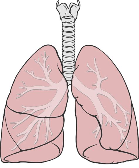 the human lungs diagram simple lung diagram with labels simple free engine image