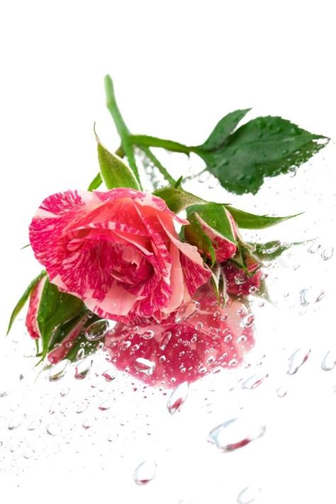 water drops on pink wild rose iowa pictures iowa pink rose on the mirror with water drops stock photo