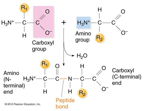 diagram of peptide bond ionic bonds biochemistry3rst