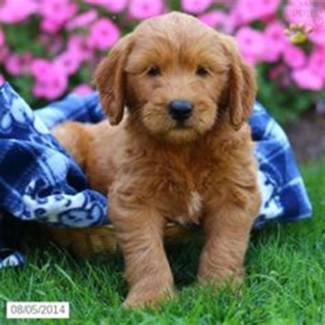 goldendoodle puppy for sale in pa goldendoodle puppy for sale in pennsylvania