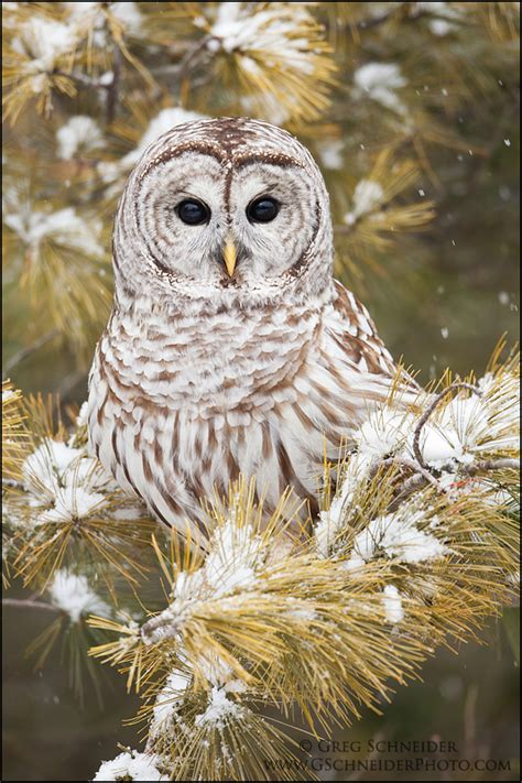 owl tree photo barred owl in snow covered tree