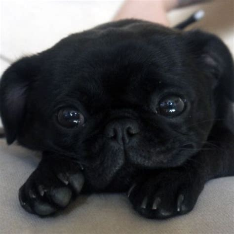 black pug puppie black pug puppy pets to find out and