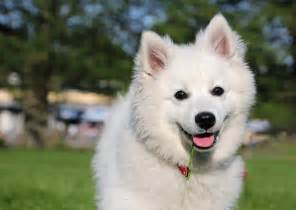 American Eskimo Dog Pictures | Wallpapers9