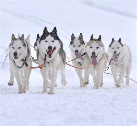 sled dogs mercury lowers sled antioxidant levels environmentalresearchweb