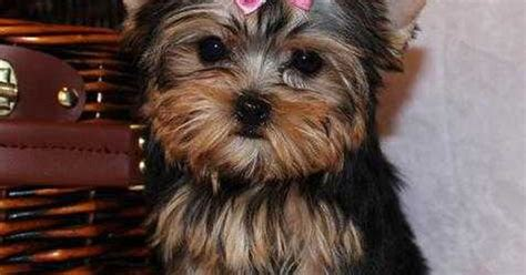 teacup yorkie potty gold and white yorkies potty trained teacup yorkie puppies for adoption yorkies