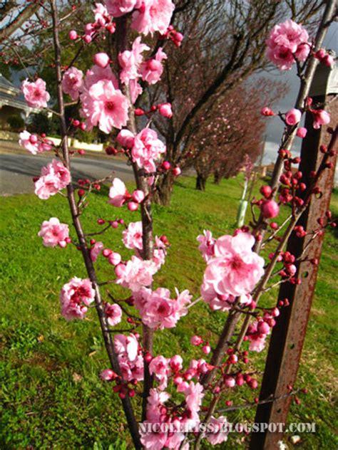 cherry blossoms in south australia nicolekiss travel
